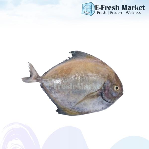 Black Pomfret Fish, ±300g (Penang Only)
