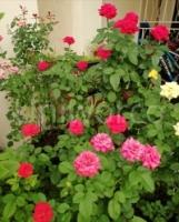 ASCO Bio Plant Food, organic liquid concentrated fertilizer (1 liter nett)